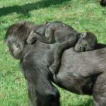aapjes slapen bij ouders