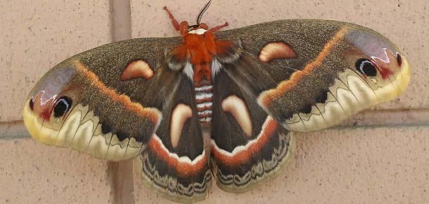 nachtvlinder huismoeder Noctua pronuba