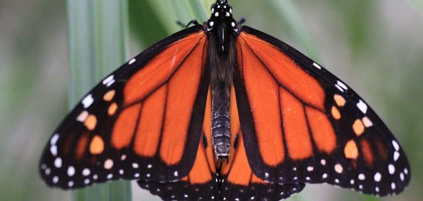 meer vlinders in je tuin