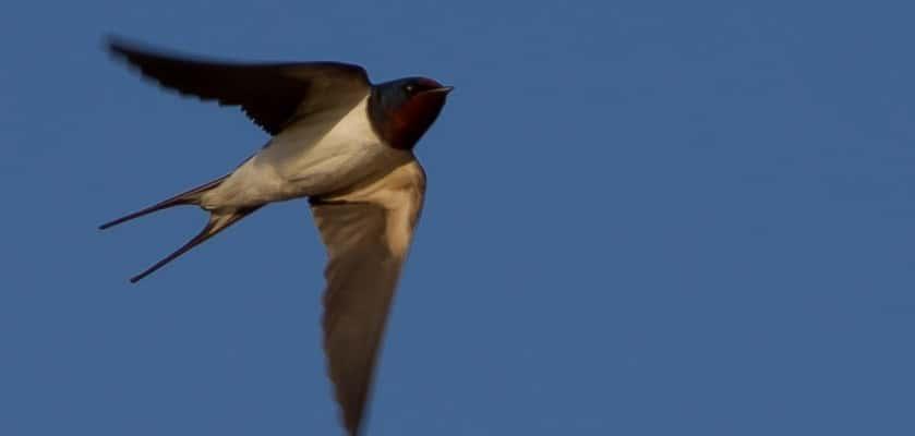 vliegende zwaluw