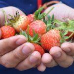 Bij Aardbeienland in Horst kun je aardbeien bij het kraampje kopen.