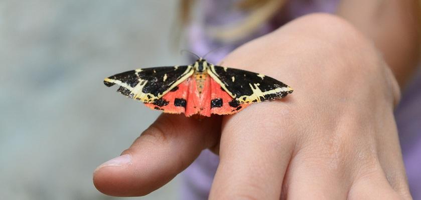 Roodzwarte nachtvlinder op hand.